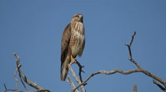 Steppe buzzard perched in a tree, South Africa Stock Footage