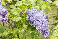 Blossoming Syringa vulgaris in Minsk a botanical garden, Belarus Stock Photos