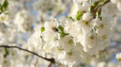 Bee in slow on cherry flower Stock Footage