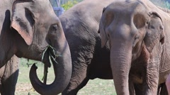 Elephants in Thailand eating plants. Stock Footage
