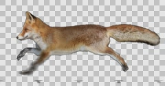 Red fox is running. Isolated and cyclic animation. Alpha channel. Stock Footage