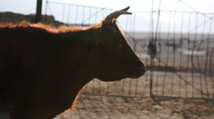 Brown cow looking at us Stock Footage