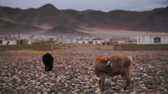 The brown goat grazed on open spaces about settlement - stock footage