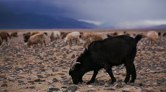 The black goat grazed on open spaces - stock footage