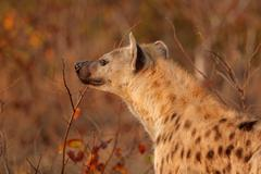 Spotted hyena portrait Stock Photos