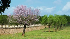 Majorca, almond tree - stock footage