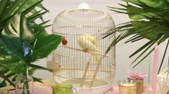 Domestic caged yellow budgie parrot - stock footage