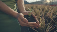 Green plant in arms with the gardener in a greenhouse with sunlight. RAW video - stock footage