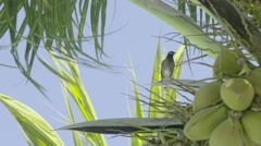 Exotic bird resting on a coconut tree, Slow motion Stock Footage