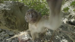 Macaque monkey plays with the camera Stock Footage