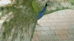 Peacock displaying its colorful feathered tail. Stock Footage