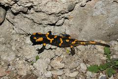 Salamander (Salamandra) in the wild. Stock Photos