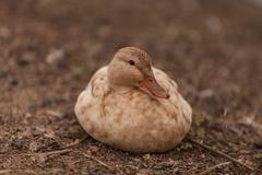 Mottled duck, Anas fulvigula - stock photo