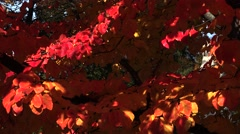 Red leaves of the bird-cherry tree.  Stock Footage