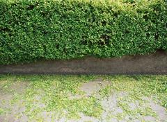 Stock Photo of Hedge trimmings