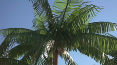 Palm Tree Blowing in the Wind. Stock Footage