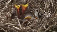 Baby birds cry out for food 4K indian Mynas - stock footage