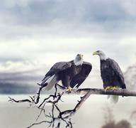 Two Bald Eagles Stock Photos