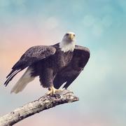 Bald Eagle (Haliaeetus leucocephalus) Stock Photos