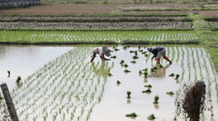 Farmer work on rice plant Stock Footage