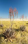 African Aloe Vera - stock photo