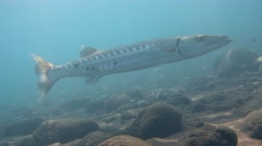 Great barracuda (Sphyraena barracuda) hovering on sand Stock Footage