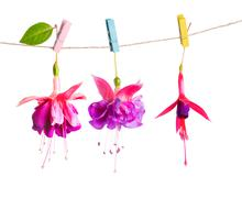 beautiful hybrid of fuchsia flowers handing on rope with colorful clothespin - stock photo
