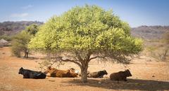 Botswana Beef Cattle Stock Photos