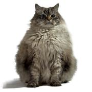 siberian cat isolated on white - stock photo