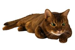 abyssinian sorrel domestic cat isolated - stock photo