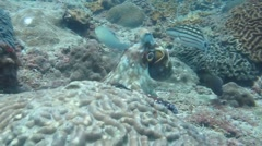 Octopus Camouflage with coral - stock footage