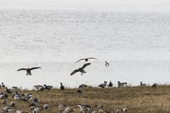 Variety of birds on shore including Canada Goose, Widgeon and Teal Stock Photos