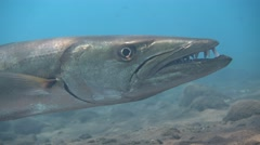 Great barracuda (Sphyraena barracuda) hovering, from side, head close up Stock Footage