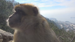 Barbary macaques bask in the sun Stock Footage