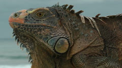 Close view of a big Iguana Stock Footage
