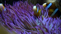 Clark anemone fish (Amphiprion clarkii) on blue sea anemone - stock footage