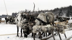 Reindeer sled in the taiga in Yamal Stock Footage