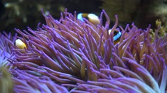 Clark anemone fish (Amphiprion clarkii) on blue sea anemone Stock Footage