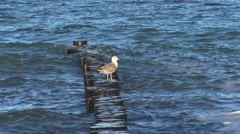 A seagull sitting on wooden posts on the Baltic Sea Stock Footage