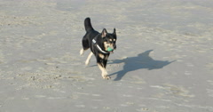 Dog playing on a North Sea Beach in Germany Stock Footage
