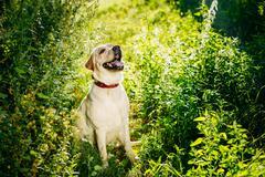 Happy White Labrador Retriever Dog Sitting In Grass, Park Backgr - stock photo