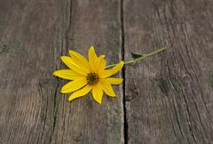 One yellow flower on a wooden table Stock Photos