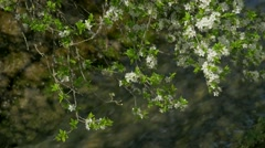 Blossom, springtime, river, sunlight Stock Footage