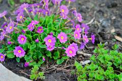 Blooming purple primrose in a flowerbed in spring Stock Photos