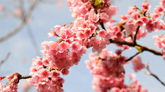 Cherry blossoms moving on windy day ,Chiang Mai, Thailand. blosom new Stock Footage