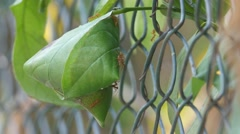 Weaver ant hive on the metal fence Stock Footage