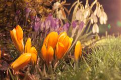 Spring flowers in evening sunlight with lens flare - stock photo