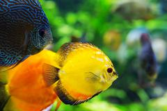 colorful sea fish in the aquarium - stock photo