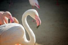 Flock of pink flamingos Stock Photos
