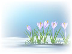 First  spring flowers on thawed patch. Blue - violet crocuses. - stock illustration
